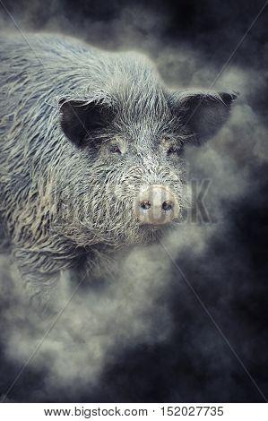 Wild Boar In Smoke