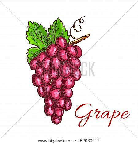 Grape fruit bunch with green leaf sketch. Grapevine with sweet and juicy pink berries of grape. Juice and wine packaging, vineyard symbol design