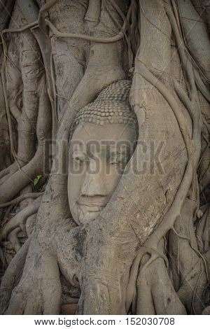 Buddha head overgrown with tree roots .