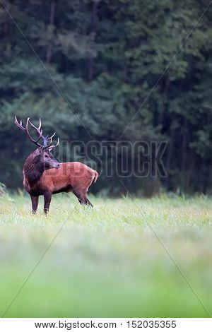 Red deer in a clearing in the wild