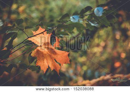 Autumn fallen leaf close up with copy space. Autumn background