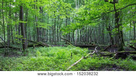 Old deciduous stand with ferns and grass inside, Bialowieza Forest, Poland, Europe