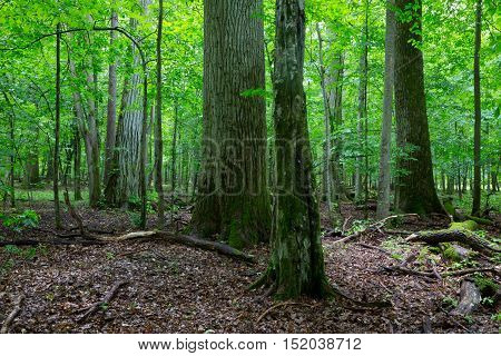 Primeval deciduous stand of natural forest in summertime with huge broken oak branch in foreground, Bialowieza Forest, Poland, Europe