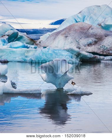 Small polar bird Goose Branta leucopsis sitting on an ice floe. Early morning at the ice lagoon in Iceland