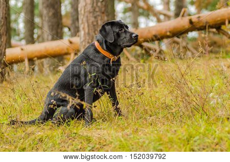 young purebred black labrador golden autumn walks in the fresh air in the park