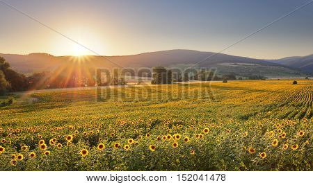 Sunflower field at sunset with a sun.