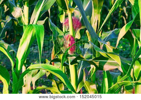 Young corn on the cob on the background of green leaves .