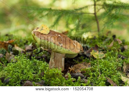 Beatiful Autumn Forest Edible Mushroom Boletus Edulis (Porcini) In Green Moss. Close Up.