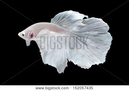 White Halfmoon Betta splendens or siamese fighting fish isolated on black background included clipping path Plakat Thailand