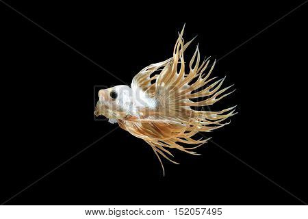 Male crown tail Betta splendens or siamese fighting fish action isolated on black background Plakat Thailand