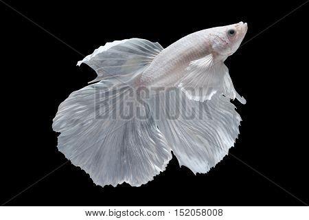 White Halfmoon Betta splendens or siamese fighting fish isolated on black background Plakat Thailand