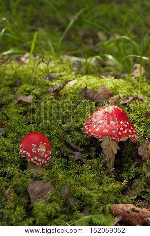 Poisonous Mushroom. Two Red Amanita Muscaria On Green Moss In Autumn Forest. Autumn Scenic With Amanita Muscaria.