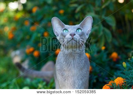 Active Oriental Shorthair Gray Cat Playing Outdoors Summer. Oriental Breed. Close Up.