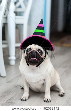 Funny pug in hat. Little witch. Halloween dog. Halloween party. Halloween costume. Funny dog. Funny pets. Dog dressed as a witch.