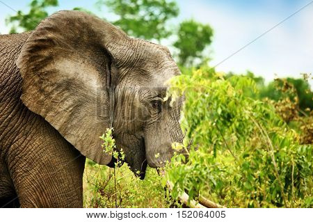 Side view portrait of a beautiful elephant eating tree leaves, big wild animal, safari game drive, Eco travel and tourism, Kruger national park, South Africa