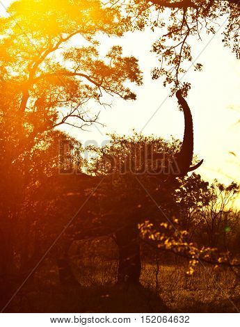 Silhouette of the big wild elephant eating tree foliage in mild yellow sunset light, safari game drive, Eco travel and tourism, Kruger national park, South Africa
