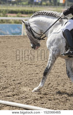 Spanish horse of pure race taking part during an exercise of equestrian morphology in Mijas Andalusia Spain