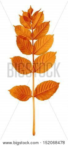 Autumnal Sorbus Leaves