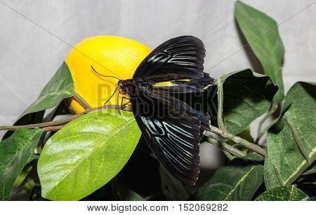 Tropical butterfly Troides rhadamantus sits on an artificial foliage plant.
