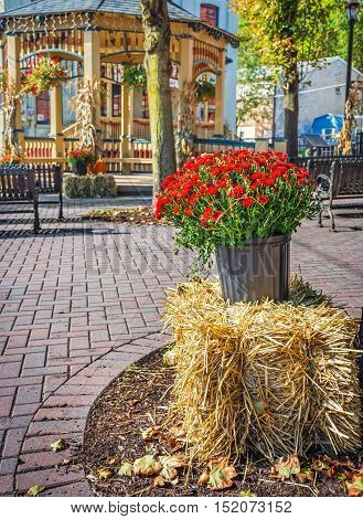 Red mum on display in the Jim Thorpe town square during Fall in Pennsylvania.