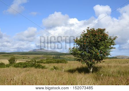 A rowan tree in the scenic countryside of the Isle of Arran