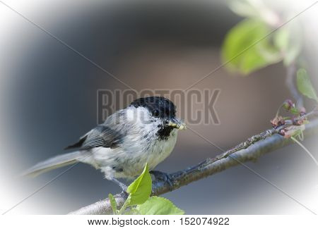 a marsh tit bringing home food for the chicks