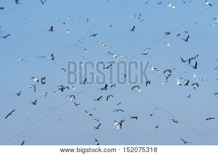 against the blue sky flies a lot of birds, gulls, sunny weather, a flock of birds, white and black, the wings in motion,