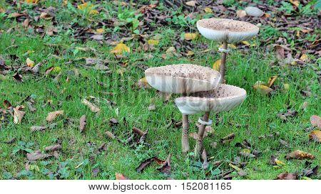 mushroom macrolepiota procera Giant parasol in the forest