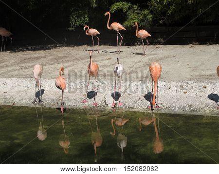 beautiful orange and white flamingos at the zoo