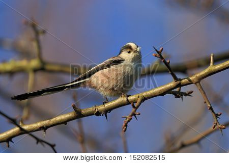 tailed tit on a twig with feathers in it's beak