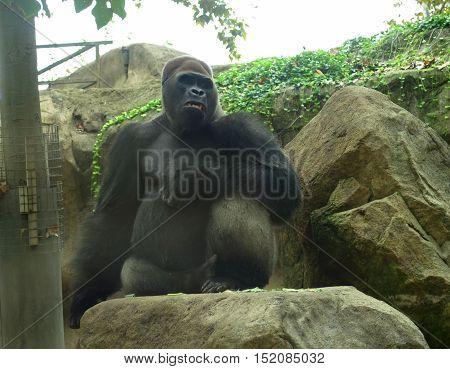 beautiful black hair gorilla at the zoo