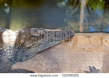 Huge crocodile basking in the sun photo for you