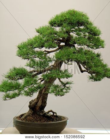 Bonsai landscape with miniature evergreen tree in a tray