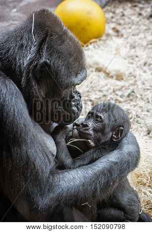 Young Western lowland gorilla- mother with cub. Animal scene. Beauty in nature.