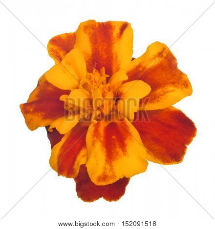 yellow and orange flower isolated on white background