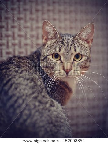 Portrait of a domestic striped cat half-turned.
