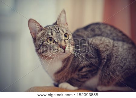 The alerted striped domestic cat with white moustaches.
