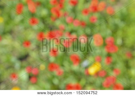 The blurred background with red flowers of tulips.