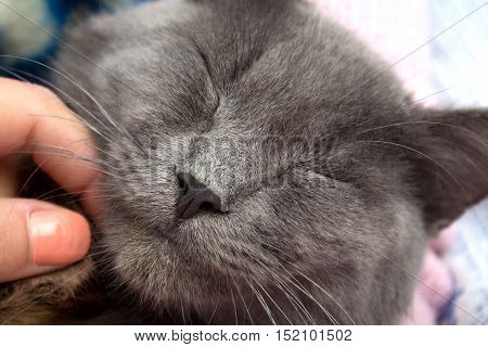 Gray Kitten Sleeping Sweetly, And Female Hand Scratches His