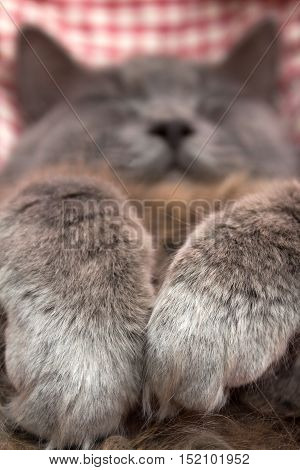Gray Kitten Sleeping Sweetly On Back, Paws Folded On Chest