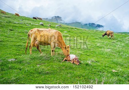 The mother cow with a newborn calf on a highland meadow with the cloudy mountains on the background Kazbegi National Park Georgia.