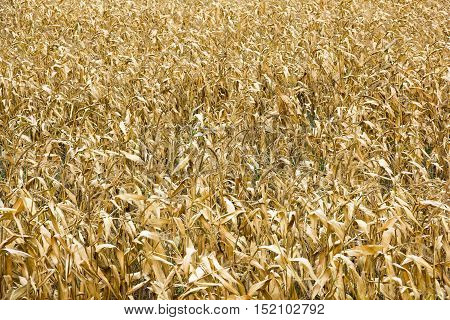 field of ripe yellow corn as a background