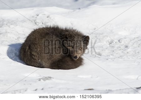 Commanders blue arctic fox lying in the snow curled up winter day