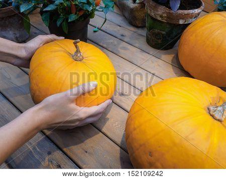 Orange pumpkin in the hands. Big pumpkin in woman hands. Yellow pumpkin holding hands.