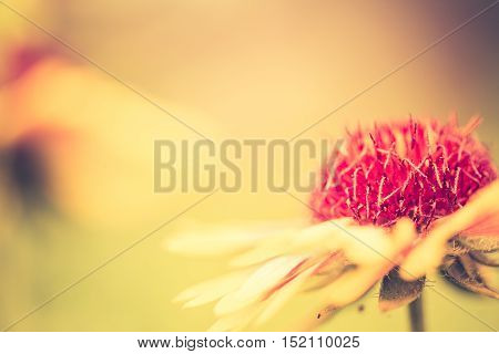 Vintage Photo Of Coneflower In Close Up