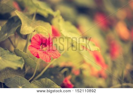 Vintage Photo Of Nasturtium Flowers Blooming In Garde