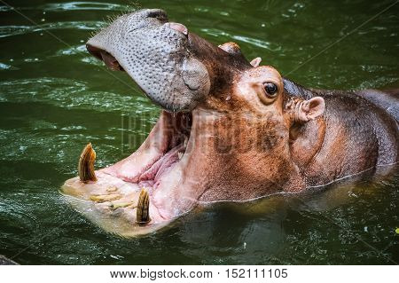 Hippopotamus in the pond opening its mouth