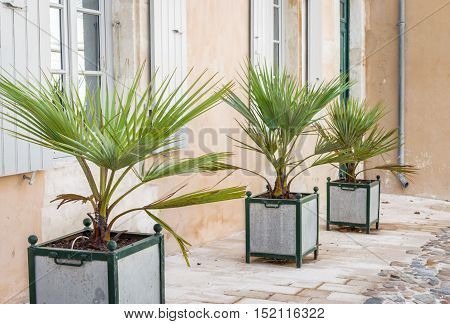 Decorative palm tree in the square iron pots outdoors