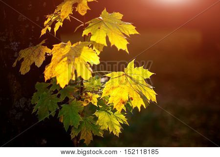 Large fresh green and yellow maple leaves with sun shinning through. Black background