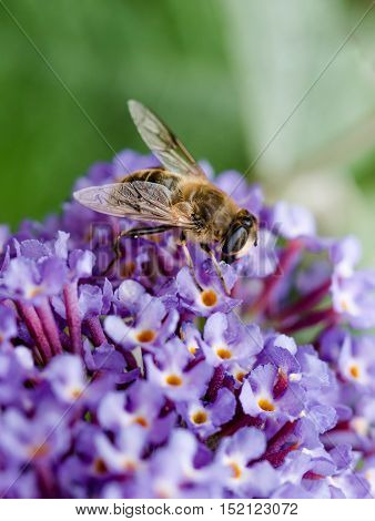 British Hoverfly feeding on a Buddleia flower. There are over 270 species in the UK many are beneficial to gardeners as the larvae feed on pests such as aphids. They are true flies with two wings resembling bees or wasps which have four.
